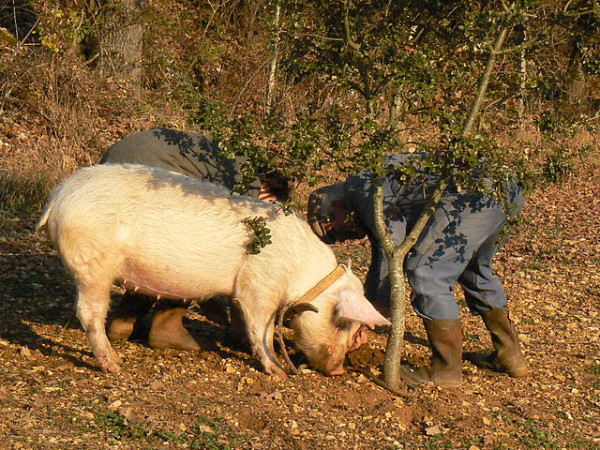 Truffle hunting with a pig in France || creative commons photo by Robert Vayssie