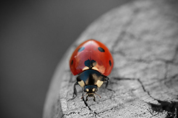ladybug || creative commons photo by Pierrick